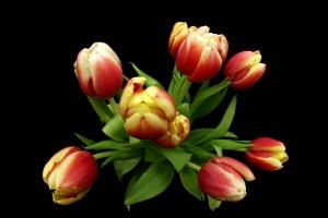 tulipany czerwono-żółte